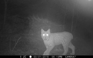 CAUGHT ON CAMERA: Wolf, bear and lynx!