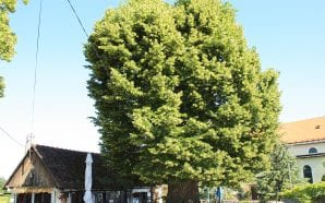EUROPEAN TREE OF THE YEAR Vote for the oldest one…