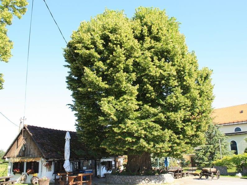 gubec linden tree